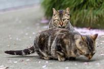 狸花猫在另一只猫后面凝视目光