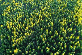 大兴安岭绿色的松林(航拍)