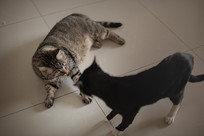 打闹对峙的两只猫兄弟组图-挑衅