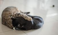 打闹嬉戏的两只猫兄弟组图 摩擦