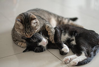 打闹嬉戏的两只猫兄弟组图-融洽