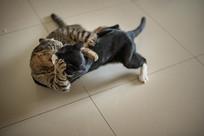 打闹嬉戏的两只猫兄弟组图-摔跤