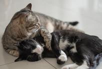 打闹嬉戏的两只猫兄弟组图-依偎