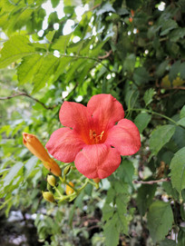 红色凌霄花