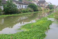 水乡河道植被