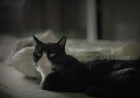 慵懒的黑猫