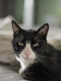 咪眼的白嘴巴黑猫