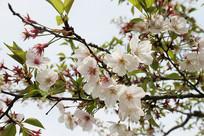 春季枝头盛开樱花特写