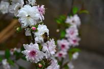 桃花里的蜜蜂正在采蜜