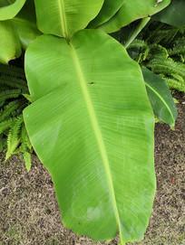 翠绿的芭蕉叶