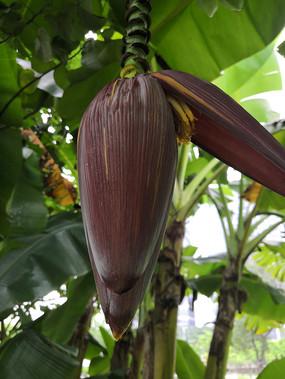 挂在树上的芭蕉花