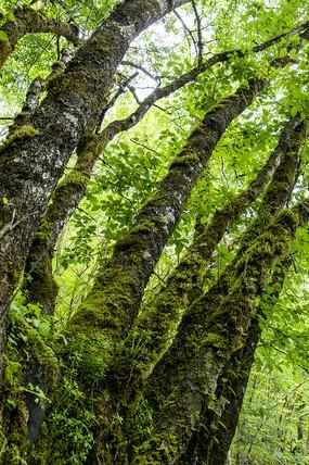 古树上的绿鲜苔