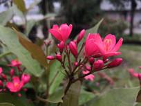 红艳艳的变叶珊瑚花