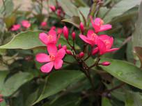 花团锦簇的南洋樱