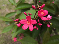 争相开放的红色琴叶珊瑚花朵