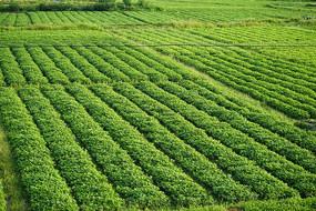 花生农作物