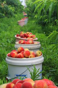 桃园采摘桃子