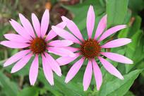 两朵松果菊花