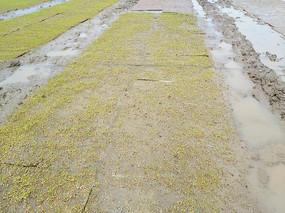 稻种子发芽