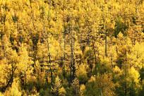 大兴安岭秋季金色森林