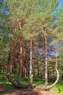 红花尔基沙地樟子松
