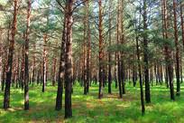 红花尔基沙地樟子松松林
