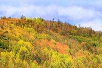 金秋树林彩林风景