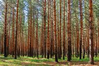 茂密的沙地樟子松松林