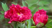 彭州丹景山天彭牡丹红色花朵