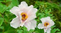 四川彭州丹景山天彭牡丹花朵