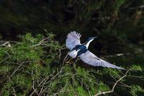 向右上方展翅起飞的夜鹭