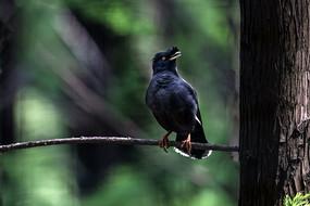 一只站在树枝上张望的八哥