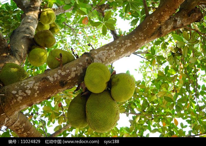 菠萝蜜树图片