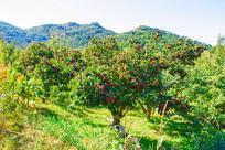 挂满山楂的几棵山楂树与山峰