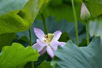 荷叶下裹着的荷花和花蕾