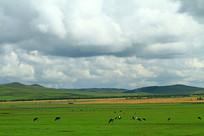 呼伦贝尔草原牧场牛群