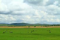 呼伦贝尔草原牛群