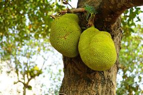 树上菠萝蜜