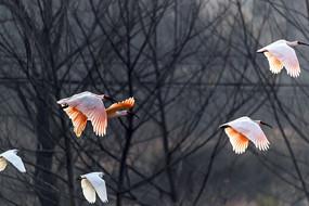 一群飞翔的朱鹮和白鹭