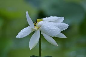 雨水中打卷的白荷花