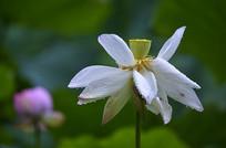雨水中绽开的白荷花