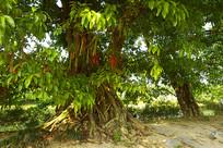 成都蒲江县西来古镇-母子树