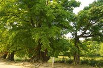 成都蒲江西来古镇古木-母子树