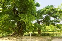 成都西来古镇古木 母子树