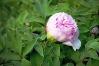 粉色牡丹摄影图