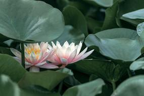 两朵粉红睡莲