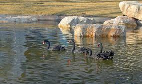 悠闲游泳的黑天鹅