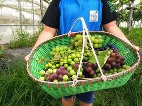 生态果园采摘葡萄