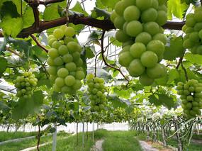 生态果园葡萄园