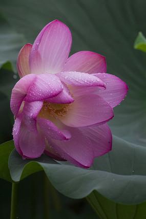 花卉摄影雨荷